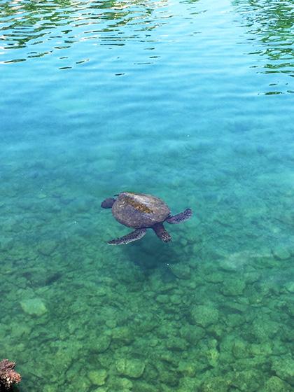 ハワイ ヒルトンワイコロアビレッジ ウミガメ