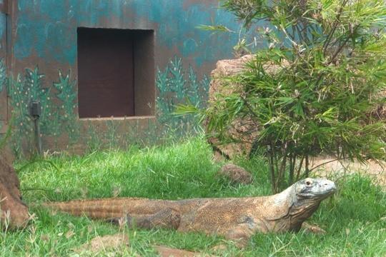 コモドオオトカゲ