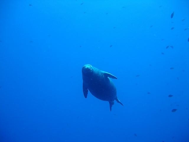 ハワイアンモンクシール海中